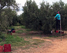 Olive harvesting, Halkidiki, Greece